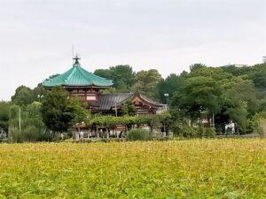 上野恩賜公園の蓮
